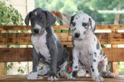 Purebred Great Dane Puppies
