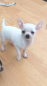 Healthy Litter of Chihuahua puppies looking for their forever homes