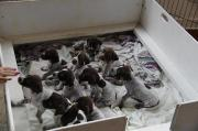 Working GSP puppies for sale