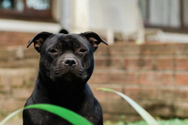4 female Black Staffie pups - vet checked, inoculated & dewormed. Loving family home