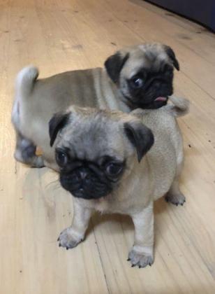 Pug Puppies Purebred