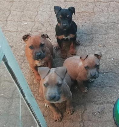 THOROUGHBRED AMERICAN STAFFIES