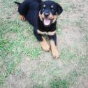rottweiler pups for sale 6 weeks