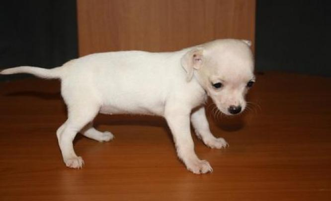 Beautiful Chihuahua Puppies For Sale Dog Breeders Gallery