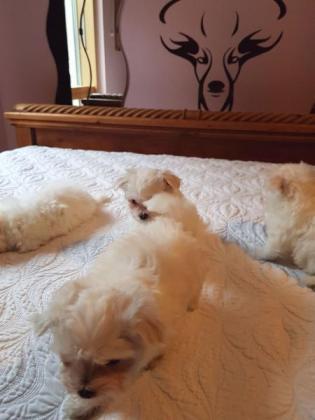 Excellent Full Pedigree Maltese Puppies