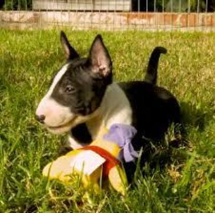 Healthy exellent Home Trained Males and Females Bull Terrier Puppies available for affordable prices