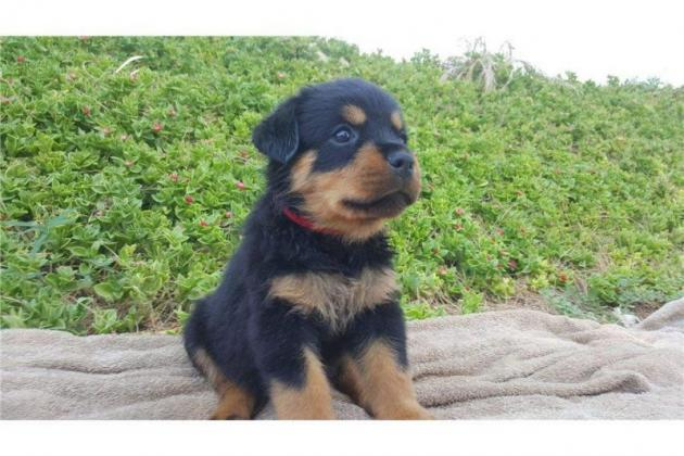 KUSA Rottweiler PUPPIES FOR SALE