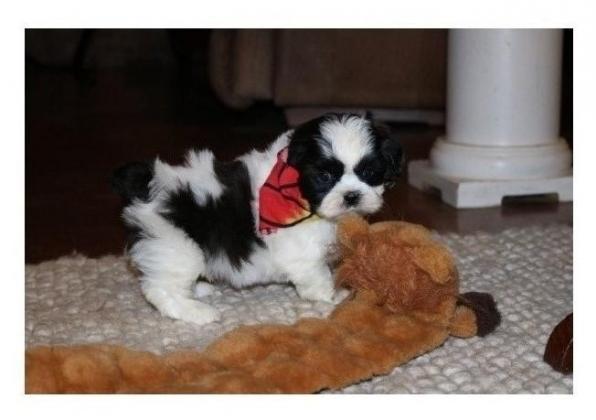 KUSA Shih tzu Puppies for sale