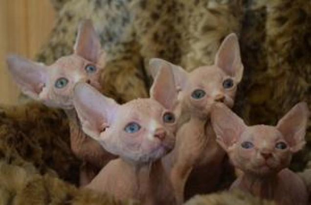Registered Champion Sired Sphynx Kittens