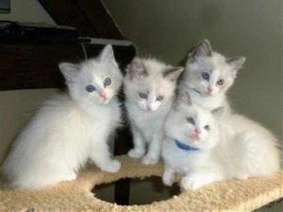 Registered Pedigree Gorgeous Ragdoll Kittens