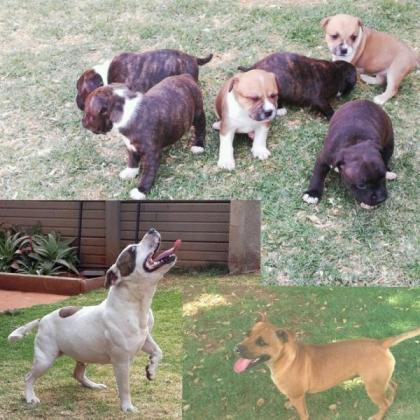 Staffie pupps for sale
