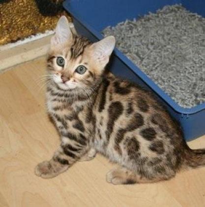 Delightful Litter Of Bengal Kittens