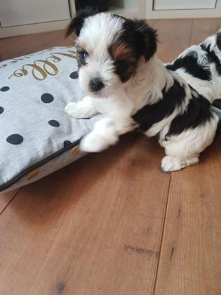 Biewer Puppies Available For Sale!!.