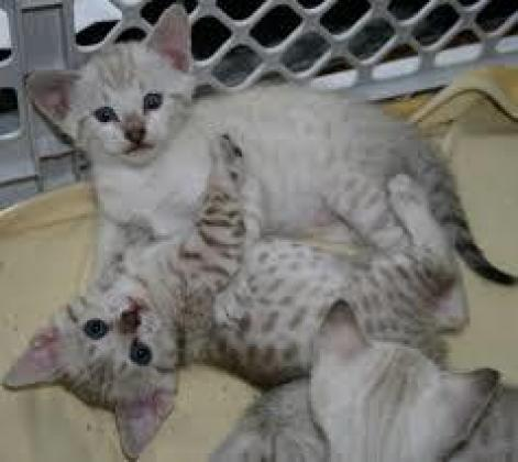 Beautiful Pedigree Bengal Kittens Ready!!