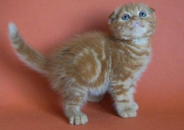 Playful and associative Scottish Kittens for sale