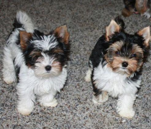 Adorable Biewer Puppies For Sale