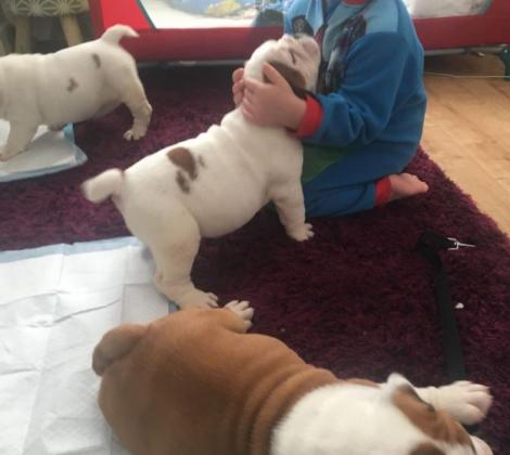 Amazing Quailty English Bulldog Puppies!!