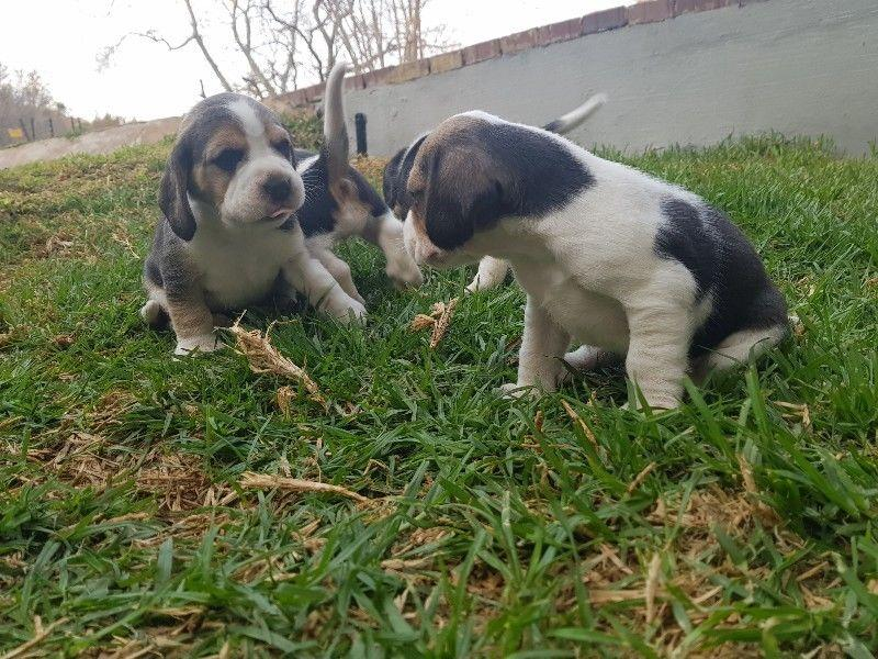 Marvelous Beagle Puppies Ready For Re Homing East London