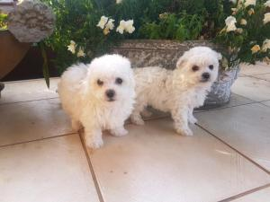 Adorable male maltese puppies available