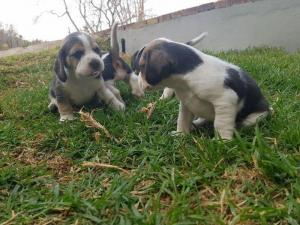 Marvelous Beagle puppies ready for re-homing