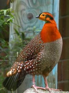 Tragopans Pheasants available.