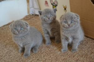 Scottish Fold  Kittens Looking For Their Forever Homes