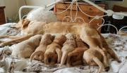 Pedigree Golden Retriever Puppies