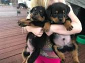 7 Registered Super Rottweiler puppies for sale