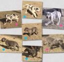 Great Dane Pups Purebred