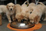 KC REG Stunning Golden Retriever Puppies