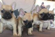 Registered Quality French Bulldog Puppies For Sale