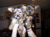 Two Top Class Yorkie Puppies Available
