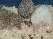 Beautiful Hedgehogs Available For Sale
