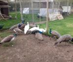 Peacocks And Peahens For Sale.