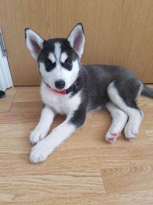 Beautiful Husky Puppies