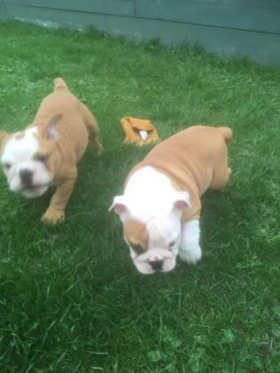 KUSA REGISTERED LOVELY English BULL DOG PUPPIES