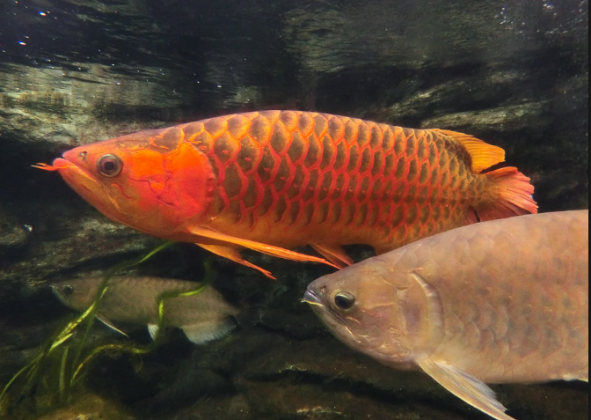 Premium  Arowana for sale 1000