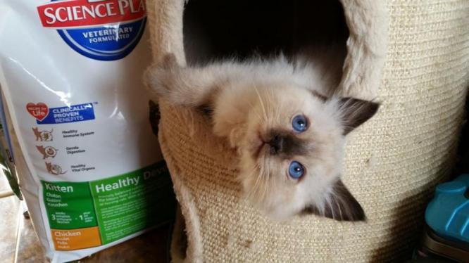 Ragdoll kittens 3 months