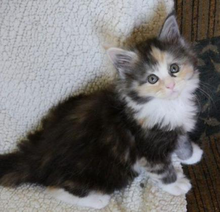 Sweet Maine Coon Kittens For Sale!!