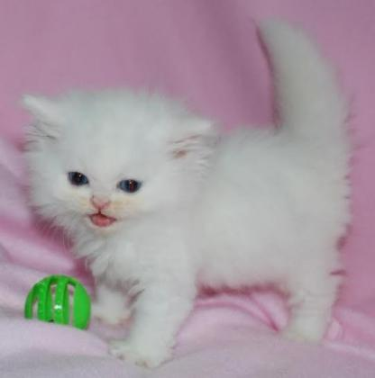 Gorgeous Open Faced Persian Kittens