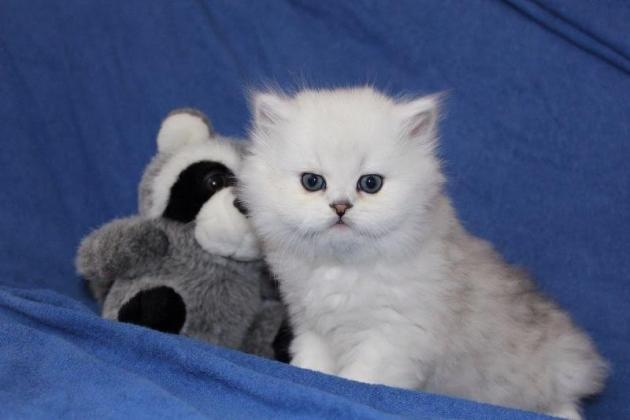 Persian Kittens Boys And Girls For Sale