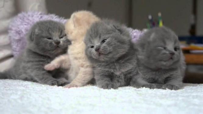Extremely Beautiful Scottish kittens.