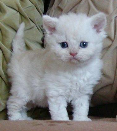 Loving Baby Persian Kittens Ready.