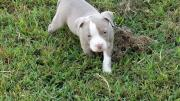 AMERICAN PITBULLTERRIER PUPPIES 12 WEEKS OLD