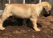 Beautiful Bull mastiff puppies for adoption.