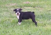 Bull Terrier Ready For Sale