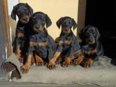 Purebred Doberman Puppies For Sale.