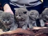 Gorgeous Scottish Fold And Straight Kittens For Sale!!