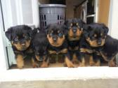 Beautiful rottweiler Puppies For Sale!!!
