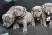 Staffordshire Bull Puppies for Sale